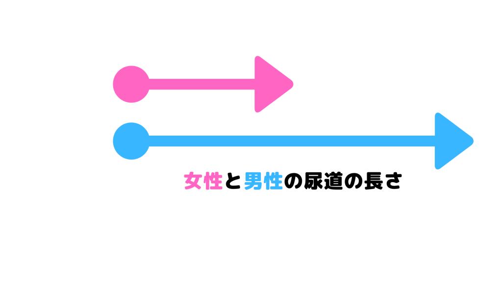 尿道の長さの比較図